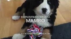 Berninpaimenkoira Mambo
