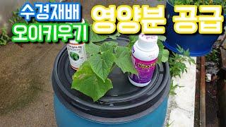 수경재배 오이키우기 영양공급-[콘크리트 팜]