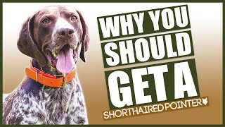 GERMAN SHORTHAIRED POINTER! 5 reasons Why YOU SHOULD GET A German Shorthaired Pointer!