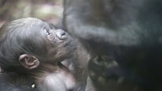 In 2015, 11-year-old gorilla, Shira captured the world's attention because she couldn't bear to part with her dead baby a week after it died. She had also lost another baby previously. But after a yea