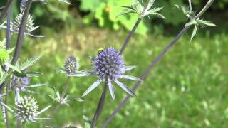 Video Variety Of Insects On Our Sea Holly download MP3, 3GP, MP4, WEBM, AVI, FLV Juli 2018