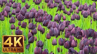 4K Spring Flowers Views with Relaxing Music for Destress & Sleep - Wooden Shoe Tulip Festival #3