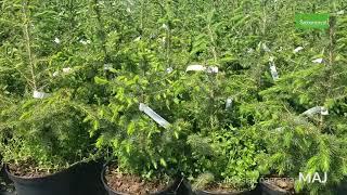 Drzewa Iglaste - Świerk serbski w doniczce
