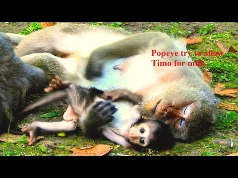 Congratulation to Timo! Popeye try to allow milk for Timo, but Tima just sleep on Popeye's arm&chest