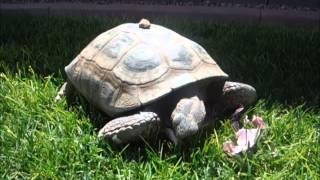 San Juan The Adult Turtoise