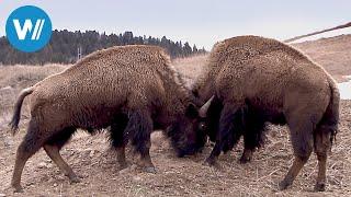 Bisons, die sanften Riesen von Montana (360° - GEO Reportage)