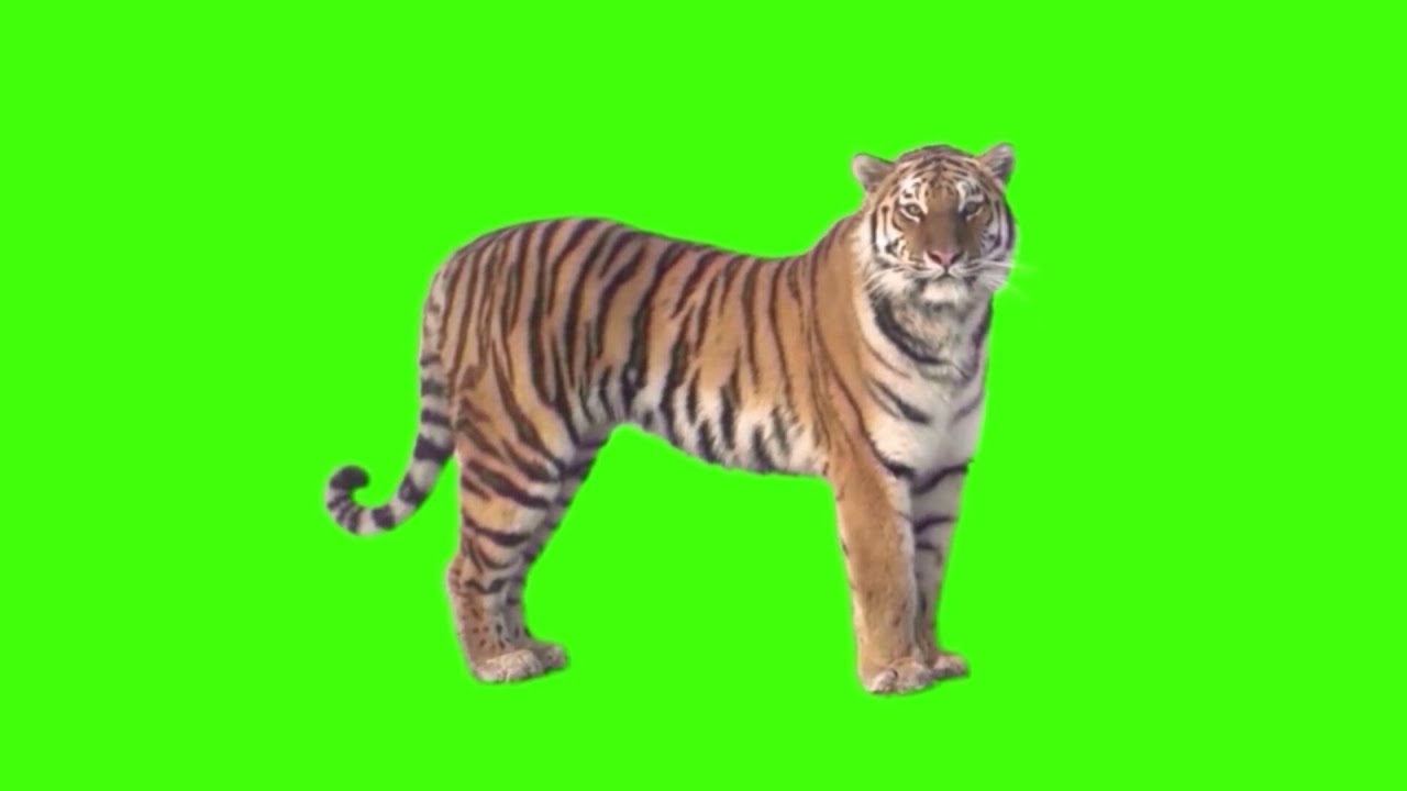 Green Screen Tiger Video Tiger Stock Footage 7