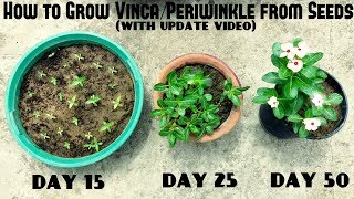 How to Grow Vinca or Periwinkle from Seeds (With update videos)