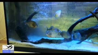 Пираньи Убивают и Едят Карася  Piranhas Kill and Tat Carp
