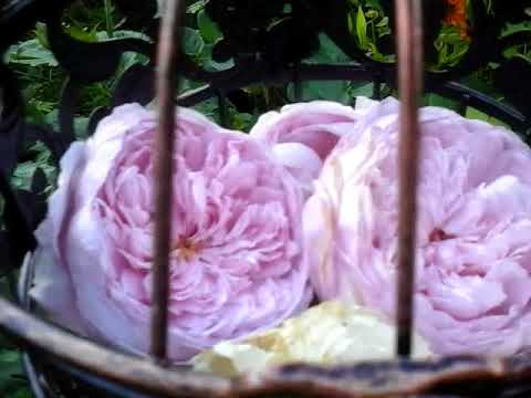 Розы D. Austin .Розы остинки зацветают 9 августа 2018г