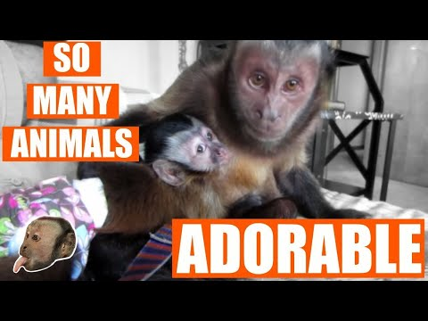Capuchin Monkey Meets Other Animals Compilation!