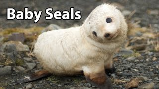 Video Baby Seals - Zoo Babies! download MP3, 3GP, MP4, WEBM, AVI, FLV Juli 2018
