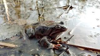 Gody żab trawnych 2017