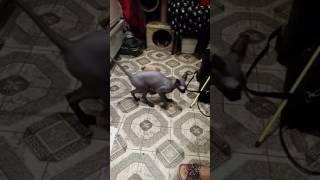 Кошка сфинкс прикол с игрушкой!!!!!