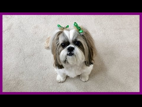 Happy St. Patrick's Day ☘️💚 from Lacey   Shih Tzu dog does tricks 🐾