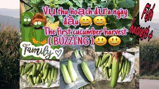 Maik Sophie-Song sinh thu hoạch dưa+cá và ngày khai giảng/ Twins harvest cucumber+fish and school