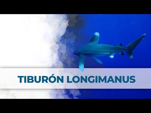 2 Little Divers | Tiburones Longimanus