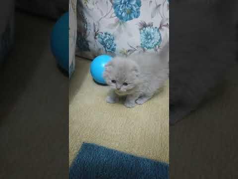 minik-sevimli-kedi-yavruları..-british-shorthair-&-scottish-fold-bebeklerimiz..