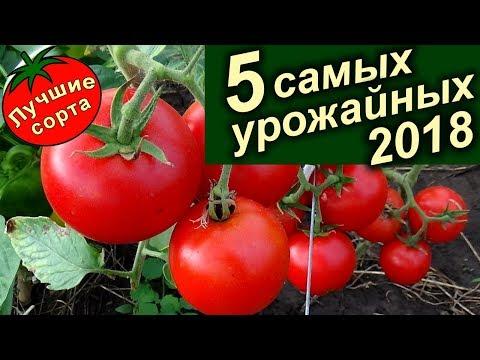 Вопрос: Какой сорт томата самый непритязательный?