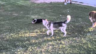Kiba And Fenris At The Bark Park In Yuma, Az