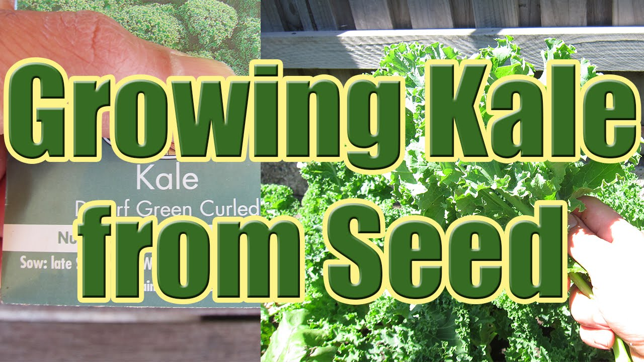 How To Grow Kale From Seed Growing At Home