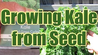 How To Grow Kale From Seed (growing Kale At Home)
