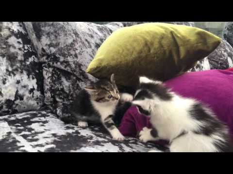 Kittens Playing on a Sofa