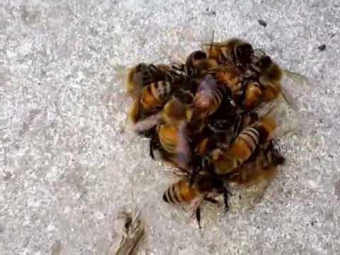 セイヨウミツバチ vs シオヤアブ Western Honeybees balling a Promachus yesonicus in Japan