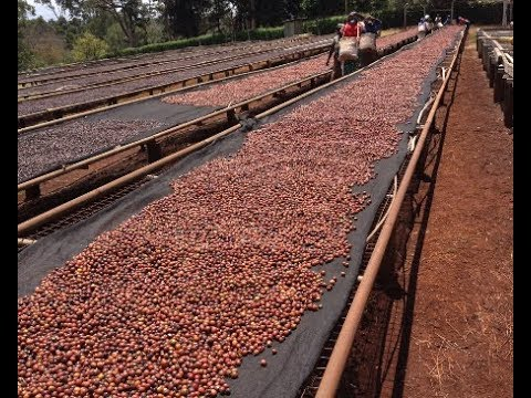 Championing Natural Processed Coffee in Kenya