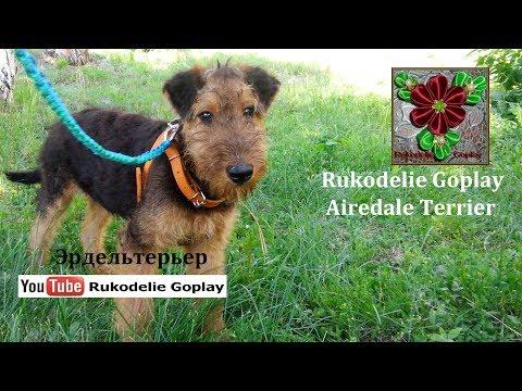 Airedale Terrier Эрдельтерьер Щенок 4 месяца Собака dog puppy 4 months