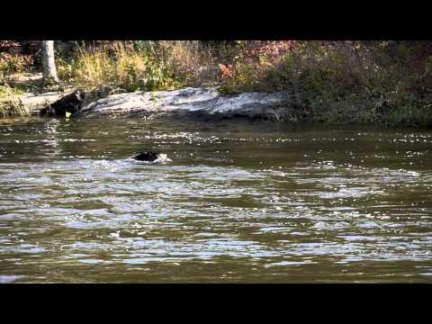 Black Bear Swimming - Kent, CT