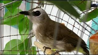 Tiếng Chim Trao Trảo Hoành Hoạch Mồi Mới Nhất 2018 - 20 Phut ( Dành cho anh em đánh keo , bẩy lụp )
