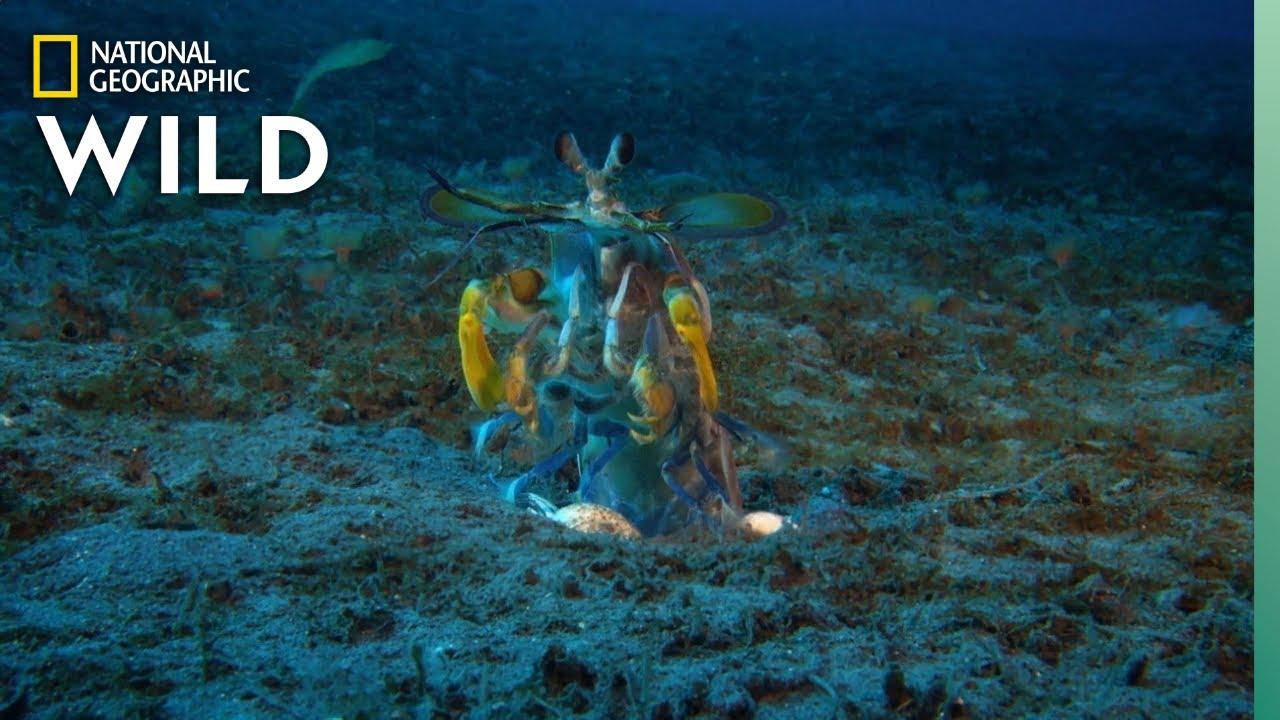 Mantis Shrimp vs Octopus   Ocean Fight Night