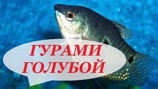 Аквариумные рыбки. Гурами Голубой содержание, размножение, уход и совместимость