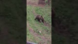 Уральский медведь