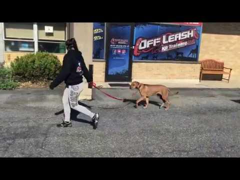 quakertown-dog-trainers-|||-olk9-lehigh-valley-|||-5-month-old-rhodesian-ridgeback,-axel