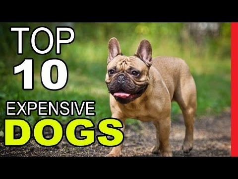 Top 10 Most Expensive Dog Breeds To Own