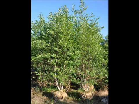 Мульти деревья березы ствол реки более красивым,