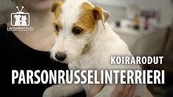 Koirat: Parsonrusselinterrieri rotuesittely