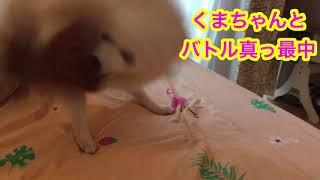 Japanesespitz Lemon  <レモンVSくまちゃん> わたちレモン  白もふ 白...