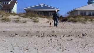Border Terrier Little Lulu At Oak Island