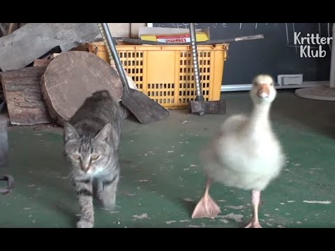 Not Giving Spoilers On What Relationship This Cat And A Baby Goose Have (Part 1) | Kritter Klub
