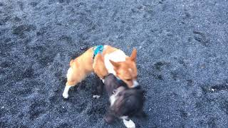 Two dogs humping and playing