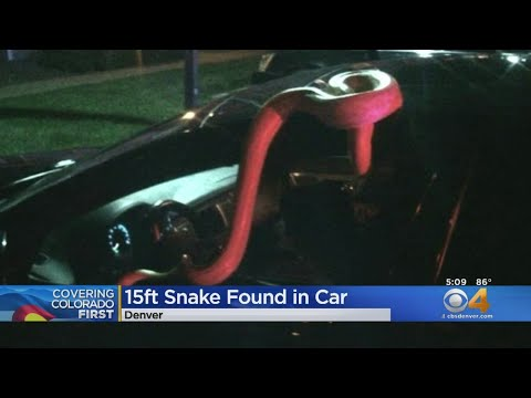 BEARDO - Drunk Driver Passes Out With 15 Foot Pet Snake In His Car