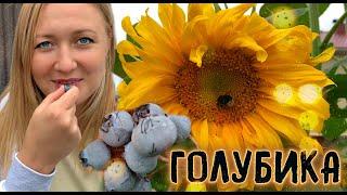 Все секреты выращивания голубики садовой  Мой опыт и практические советы // Blueberry