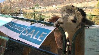 Alpacas on Sale for Black Friday