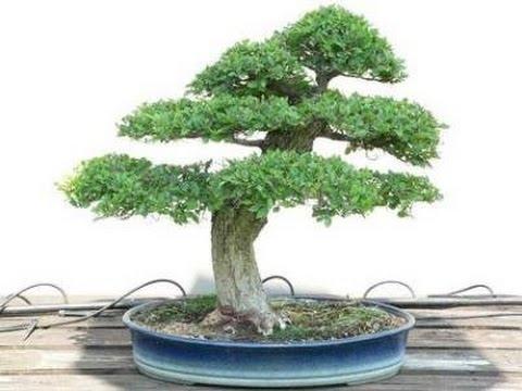 Zelkova Bonsai (Japanese Elm)
