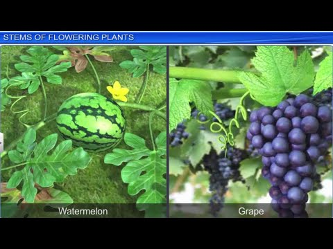 Morphology of Flowering Plants | Full Chapter | by Shiksha House thumbnail