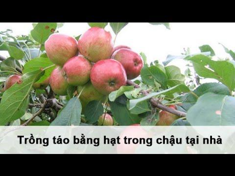 Trồng táo bằng hạt trong chậu tại nhà