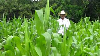 Finding Papa Ricardo in the Corn Field (Guatemala)